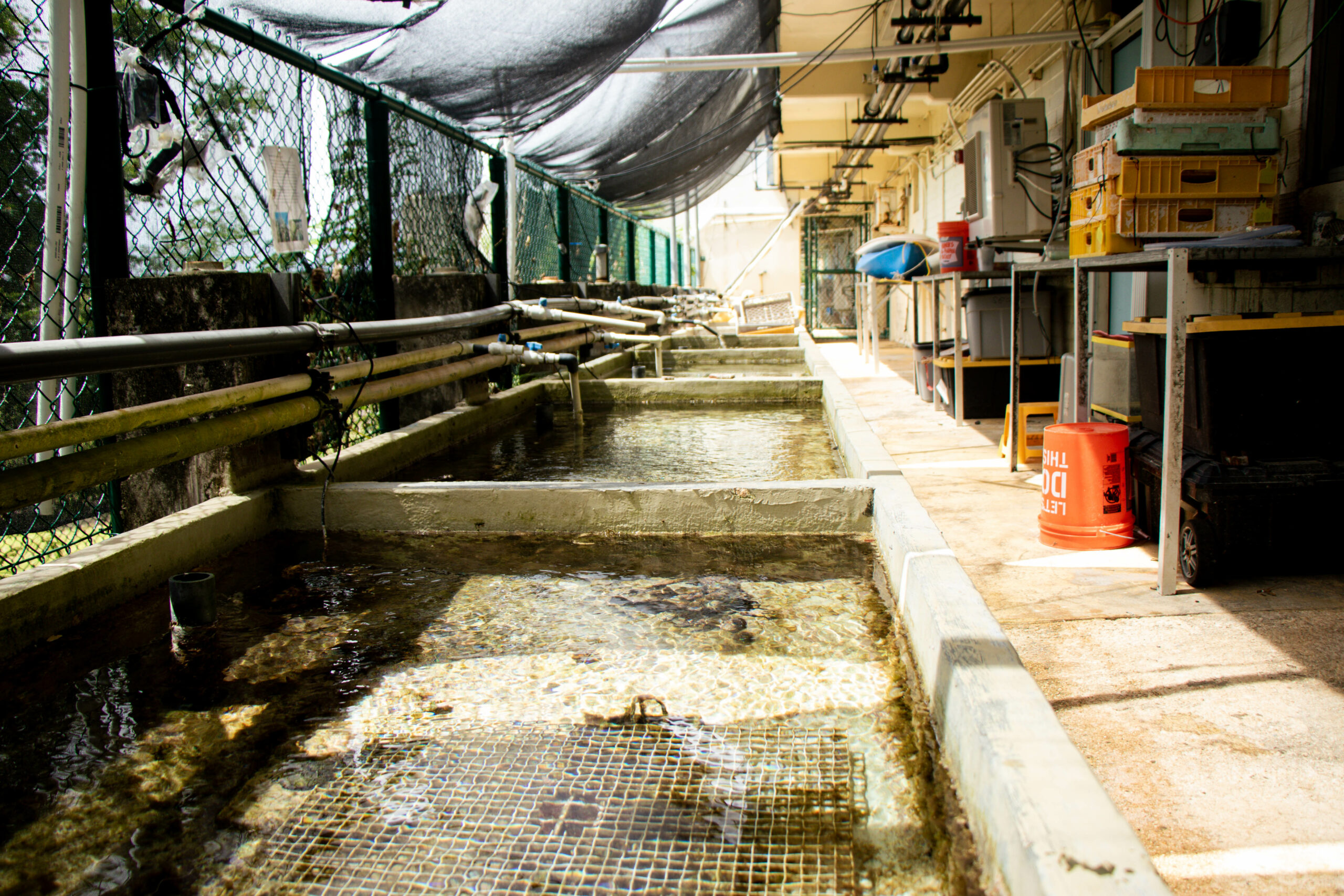 A shade cloth in the UOG Marine Laboratory partially blocks light for staghorn coral samples that were exposed to elevated seawater temperatures. Researchers assessed their recovery and found that shaded corals recover more quickly from heat stress than corals with no shade.